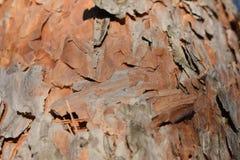 Pino de los árboles del invierno Imagen de archivo libre de regalías