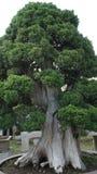Pino de los bonsais fotos de archivo libres de regalías