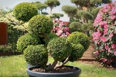 Pino de los bonsais en jardín Imagen de archivo libre de regalías