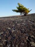 Pino de los bonsais V, isla de Franklin Fotografía de archivo
