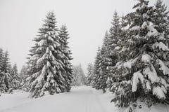 Pino de madera del bosque del invierno Foto de archivo