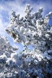 Pino de montaña nevado en el paisaje del bosque del invierno Fotografía de archivo