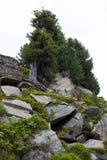 Pino de piedra y picea de Noruega suizos en substratos rocosos Foto de archivo