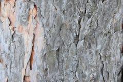 Pino degli alberi di inverno Immagine Stock Libera da Diritti