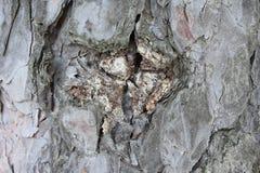 Pino degli alberi di inverno Fotografie Stock