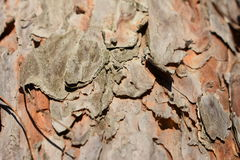 Pino degli alberi di inverno Fotografie Stock Libere da Diritti