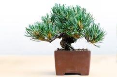 Pino dei bonsai in un vaso tradizionale fotografia stock