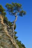 Pino del árbol Fotos de archivo libres de regalías