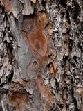 Pino del cedro, textura de la corteza 3 Fotos de archivo libres de regalías