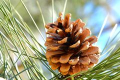 Pino del cono sull'albero Fotografia Stock