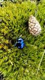 Pino del escarabajo Imagen de archivo