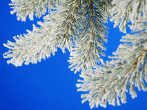 Pino del invierno Foto de archivo libre de regalías