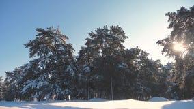 Pino del invierno el bosque del sol en el movimiento de la luz del sol de la nieve árbol congelado del Año Nuevo de la Navidad de almacen de metraje de vídeo