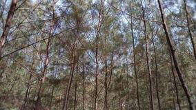 Pino del mar de los árboles en la playa con las hojas verdes fotos de archivo libres de regalías