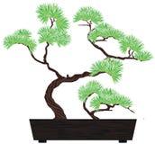 Pino dell'albero dei bonsai Immagine Stock