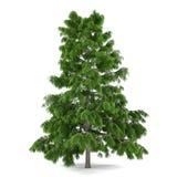 Pino dell'albero isolato. Cedrus deodara Immagine Stock Libera da Diritti