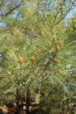Pino della Crimea, o Pallas Pine, Crimea immagine stock