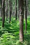 pino della foresta Fotografie Stock