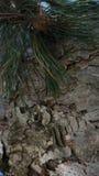 Pino della foresta Fotografia Stock