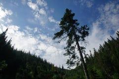 Pino derecho solo en las montañas siberianas en el fondo del cielo nublado Fotos de archivo