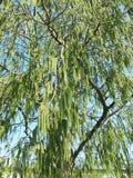 Pino di fioritura della tremula (tremula del Populus) Fotografia Stock