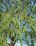 Pino di fioritura della tremula (tremula del Populus) Fotografie Stock