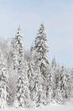 Pino di inverno Fotografie Stock