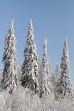 Pino di inverno Immagine Stock
