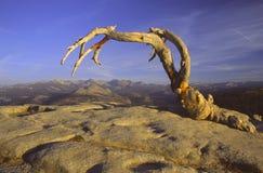 Pino di Jeffrey guasto sulla cupola della sentinella in Yosemite immagine stock
