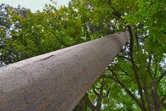 Pino di Kauri australiano gigante nei giardini botanici reali, Kandy La Sri Lanka Fotografia Stock Libera da Diritti