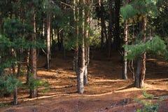Pino di legni Fotografia Stock