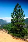Pino di montagna fotografie stock