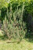 Pino di montagna (mugo del pinus) fotografia stock libera da diritti