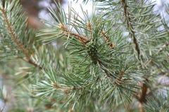 Pino di Pinecone, verde Fotografia Stock