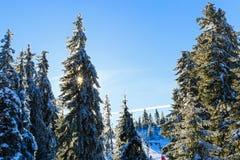 Pino di Snowy nell'orario invernale Fotografia Stock Libera da Diritti
