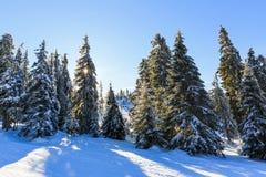 Pino di Snowy nell'orario invernale Fotografie Stock Libere da Diritti