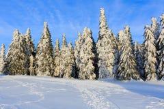 Pino di Snowy nell'orario invernale Immagini Stock Libere da Diritti