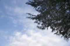 Pino e cielo blu Immagini Stock Libere da Diritti