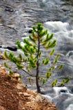 Pino e fiume nel parco nazionale di Yellowstone Immagini Stock