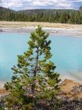 Pino e lago nel parco nazionale di Yellowstone Immagine Stock