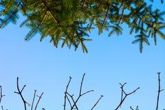 Pino e rami verdi senza foglie contro il cielo Immagine Stock