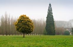 Pino ed albero bluming Fotografie Stock
