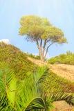 Pino en el altozano arenoso rodeado por los arbustos y las palmeras jovenes contra el cielo azul en un día soleado Foto de archivo libre de regalías
