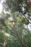 Pino en el bosque protegido de la región de Bryansk fotografía de archivo libre de regalías