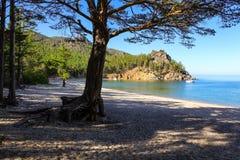 Pino en la playa arenosa Fotografía de archivo libre de regalías