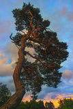 Pino en la puesta del sol en el bosque Foto de archivo libre de regalías