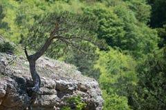 Pino en la roca Foto de archivo