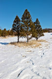 Pino en nieve del invierno Fotos de archivo