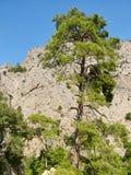 Pino en Taurus Mountains Fotografía de archivo libre de regalías