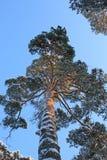 Pino en un backround del cielo azul Imagen de archivo